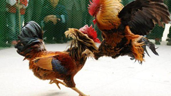 Keuntungan Hebat Bermain Judi Ayam Online